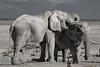 The Giants (pawel.suchecki) Tags: elephant springbok animal animalplanet mammal water waterhole wildlife nature giant enermous africa namibia etosha