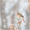 It's Been One of Those Days! (glenda.suebee) Tags: cardinal female red wildlife ohio january 2018 glendaborchelt