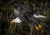 0N7A5900.jpg (Mike Livdahl) Tags: skagit eagles skagitriver