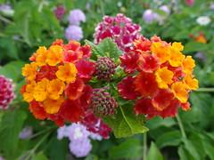 I colori.. (antonè) Tags: lantana colori antonè parco piantatossica flower flor fleur garden color colorido couleur poison veneno omarfalworth aggius santadegna sardegna gallura lantanacamara