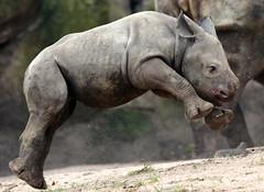 black rhino Blijdorp BB2A2413 (j.a.kok) Tags: rhino rhinoceros zwarteneushoorn blackrhinoceros neushoorn puntlipneushoorn africa afrika herbivore animal mammal zoogdier dier babyneushoorn babyrhino blijdorp