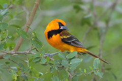 Altamira Oriole (Greg Lavaty Photography) Tags: altamiraoriole icterusgularis texas december hidalgocounty birdphotography outdoors bird nature wildlife