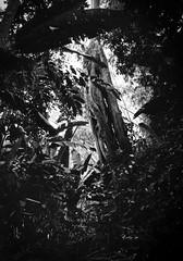 Quindiando (RoryO'Bryen) Tags: quindío colombia copyrightroryobryen colombie blackandwhite blancoynegro biancoenero forest selva ejecafetero nature landscape leicasummiluxm35mmf14asph selfdeveloped ilfordfp4
