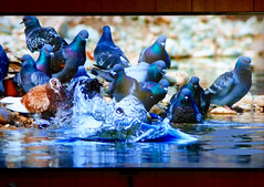 Wels Catfish (M.P.N.texan) Tags: catfish wels large huge freshwater television bbc nature