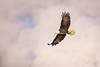 Morning Fog (jeff_a_goldberg) Tags: americanbaldeagle baldeagle wildlife winter nature bird bif haliaeetusleucocephalus birdinflight eagle redwing minnesota unitedstates us