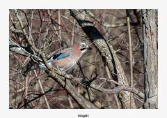 Geai des chênes (gilbert.calatayud) Tags: corvidés eurasianjay garrulusglandarius geaideschênes passériformes bird oiseau laddo domaine des oiseaux mazères ariège occitanie