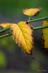 Feuille d'hiver (Tormod Dalen) Tags: macrotakumar504 feuille leaf winter hiver jardin garden bokeh dof pentaxart