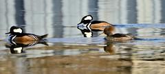 26of365 (duffy2317) Tags: nikkor 70300mm f4556g ifed afs vr zoom nikon d7000 birdsbirdsbirds flickr birdinginthewild nature merganser hooded fowl duck