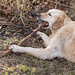 Golden Retriever chewing on a branch