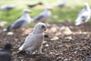 Why do I look so different? (S♡C) Tags: littlecorella seagull pigeon park sydney parrot australian