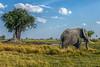 walk on by (PhilHydePhotos) Tags: africa botswana elephant okavangodelta safari shindecamp animalplanet