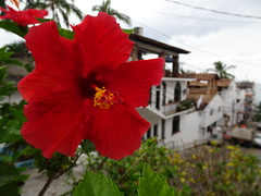 Beautiful flower and the city of PV. (France-♥) Tags: 866 puertovallarta fleur flower rouge red mexique bokeh hibiscus