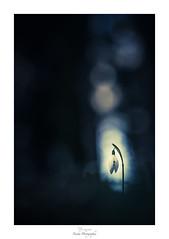 Leave a Light On (Naska Photographie) Tags: naska photographie photo photographe paysage proxy proxyphoto printemps poésie macro macrophotographie macrophoto minimaliste minimalisme nature fleur flare flower floral flou fleuri floraison flowers fleurs forest foret ombre lumière silhouette perce neige nivalis bokeh color couleur ambiance dark darkness composition univers landscape sombre