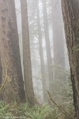 Giants in the Mist (Ralph Earlandson) Tags: redwoods california fog tree redwoodsnationalpark ladybirdjohnsongrove