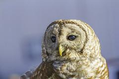 Barred Owl Close Up (lwmonk) Tags: owl barred raptor bird beak eyes feathers close up