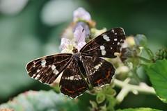 Butterfly (Hugo von Schreck) Tags: hugovonschreck schmetterling butterfly macro makro insect insekt falter canoneos5dsr tamron28300mmf3563divcpzda010 buzznbugz