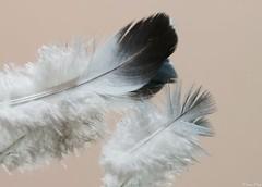 Suave como plumas (Cristina Ovede) Tags: plumas feather stilllife stilllifephotography macro macrophotography grey gris colour color