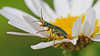 Common Malachite Beetle - Malachius bipustulatus (jaytee27) Tags: commonmalachitebeetle malachiusbipustulatus highelmscountrypark kent naturethroughthelens
