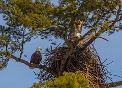Nesting Pair (John Kocijanski) Tags: eagles nest baldeagle animals birds birdofprey wildlife nature canon70300mmllens canon7d sullivancounty
