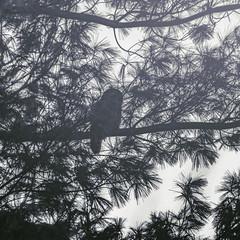barred owl at dusk (amy buxton) Tags: animals stlouis nature natural amybuxton winter urban birds owl barredowl