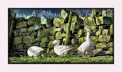 Geese (trev.pix) Tags: geese