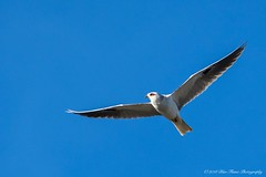 White-tailed Kite © (Rodolfo Quinio) Tags: whitetailedkite nikond500 tamron150600mm lasgallinasponds sanrafaelca marincounty raptor birdofprey raptorinflight bird nature wildlife 141