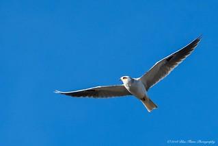 White-tailed Kite ©