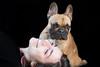 Bimbe (Guido Barberis) Tags: vicky camy camilla bouledogue francese french bulldog dog perro