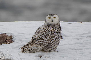 #1, Snowy Owl , Cape Spear