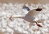 Landing among the crowd (tresed47) Tags: 2018 201802feb 20182018middlecreekbirds birds canon7d content february folder goose lancastercounty middlecreek pennsylvania peterscamera petersphotos places season snowgoose takenby us winter ngc npc