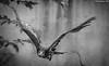 l'aquila (DiegoGuidone) Tags: aquila reale volo animale rapace
