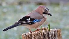 DSC_3969 Geai dans le givre (sylvettet) Tags: bird oiseau geai jay givre froid 2018 frost