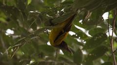 DSC_1583.jpg (naser7363) Tags: blackheadedoriole birds