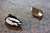 (the last don) Tags: titisee germany schwarzwald duck water