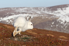 And He's Off (blootoonloon1( No to Badger Cull)) Tags: winter snow highlands mountains cairngorms scotland white colours hare nature wildlife animal movement