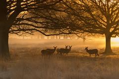 A small gathering (craig.denford) Tags: red deer hinds richmond park london surrey craig denford