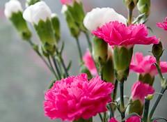 blooming carnations (michaelketzenberg) Tags: dianthus caryophyllus dianthuscaryophyllus carnations karafiáty karafiát bloom kytka rostliny mikro macro flower plant flowering floweringflower blume nelke nelken