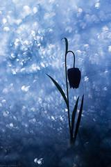 Calypso (Missy Karine) Tags: ngc blue wild fineart canon 10mml macro flower bokehlicious bokeh picoftheday friltillaire macroflowerlovers vegetal nature dark