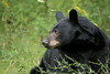Sweet bear (Seventh day photography.ca) Tags: blackbear bear animal nature wildanimal wildlife predator summer ontario canada mammal chrismacdonald 7thdayphotography sow female