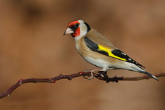 European goldfinch. Cardellino (melissa.bertoni96) Tags: naturephotography goldfinch photography hide set wild nature colours autumn winter canon bird uccello