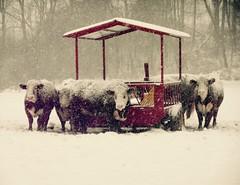 waiting (emiliana d) Tags: farm caws snow winter miniature donkeys
