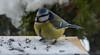 Blues came to visit me today (evakongshavn) Tags: bluetit blåmeis bird birds tit closeup feather fluffy fauna
