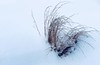 Winterfighter (evanffitzer) Tags: winter winterscene grass canada iphone7 cold snow tired winterfighter grasses outdoors outside plant