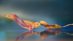 Leaf .... 051/365 (judith511) Tags: leaf reflection twisted old 2018onephotoeachday