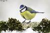 Herrerillo común - Cyanistes caeruleus - Eurasian blue tit. (Fotografias Unai Larraya) Tags: animales aves ngc orgi nieve bosque musgo herrerillocomún colores navarra