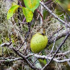 ROSH6170-Edit.jpg (Roshine Photography) Tags: evergladesnationalpark anhingatrail florida homestead unitedstates us fruit forest wod tree macro wood