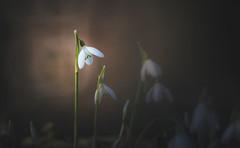 Spring Crocus, Snowdrops series - 5 (Dhina A) Tags: sony a7rii ilce7rm2 a7r2 minolta rf rokkorx 250mm f56 mirror reflex minolta250mmf56 md prime rokkor bokeh spring crocus snowdrops