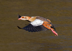Egyptian Goose ANR 15th Feb 2018 (Nigel B2010) Tags: lake goose egyptian nature wildlife countryside fly flying colour green red white black grey brown gold canon 80d sigma 100400f563 contemporary sun sunshine wings landing