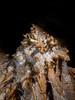 Corail de calcite - Aven Armédia (30) - France (Romain VENOT) Tags: excentriques calcites concrétions spéléologies cavités grottes aven armédia caving caves gard