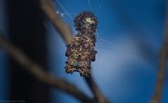Celaenia calotoides (dustaway) Tags: arthropoda arachnida araneae araneomorphae mastophorinae celaeniacalotoides crypsis australianspiders ootheca rathdowney loganvalley sequeensland queensland australia nature
